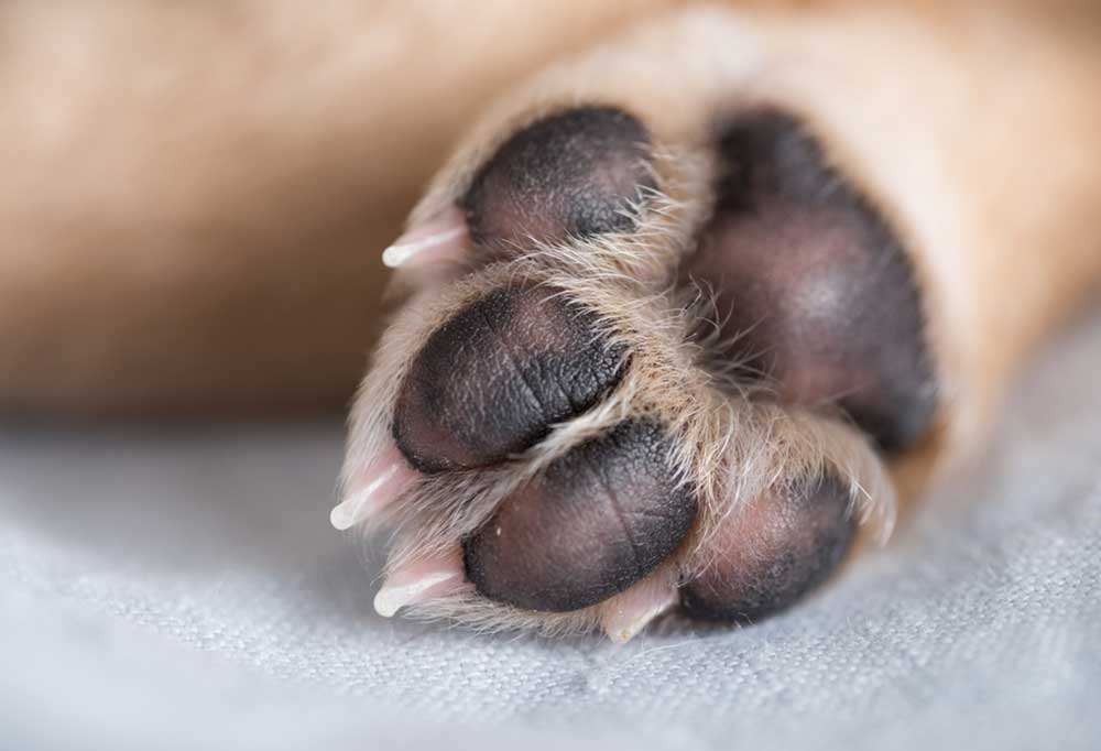 Close up pad and nail view of a tan dog paw