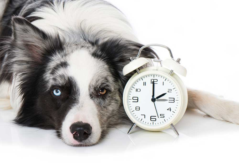 Dog laying next to an alarm clock on a white background