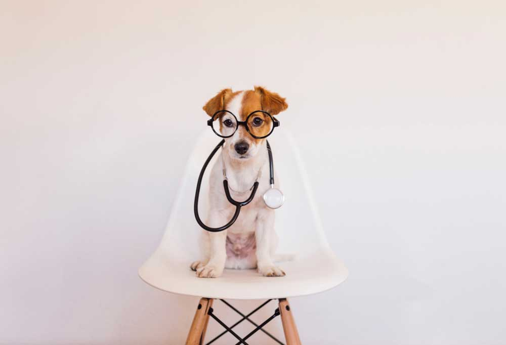 Jack Russell Terrier on a white chair in a white room with a stethoscope around its neck and wearing glasses