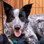 Australian Shepherd in dog crate