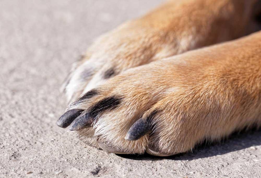 Close up of dog nails