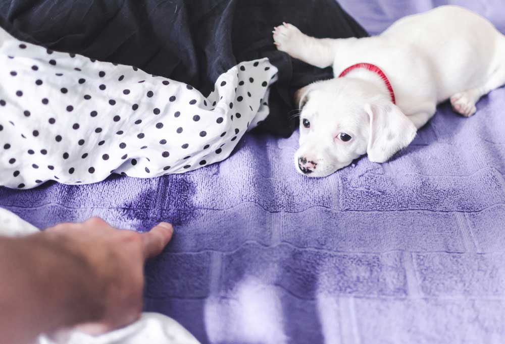white puppy being fussed at for peeing on bed