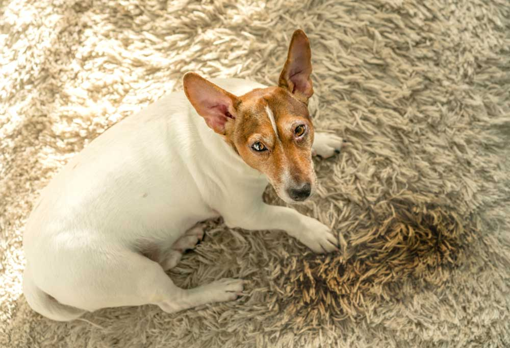 Jack Russell Terrier on tan carpet with a pee stain