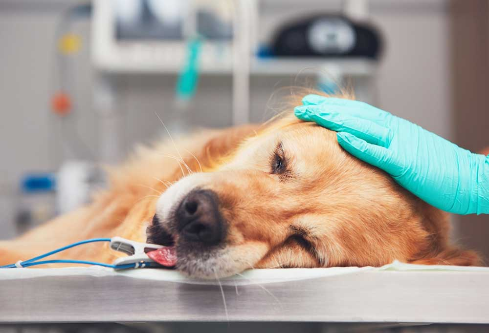 dog on surgical table with human gloved hand on its head