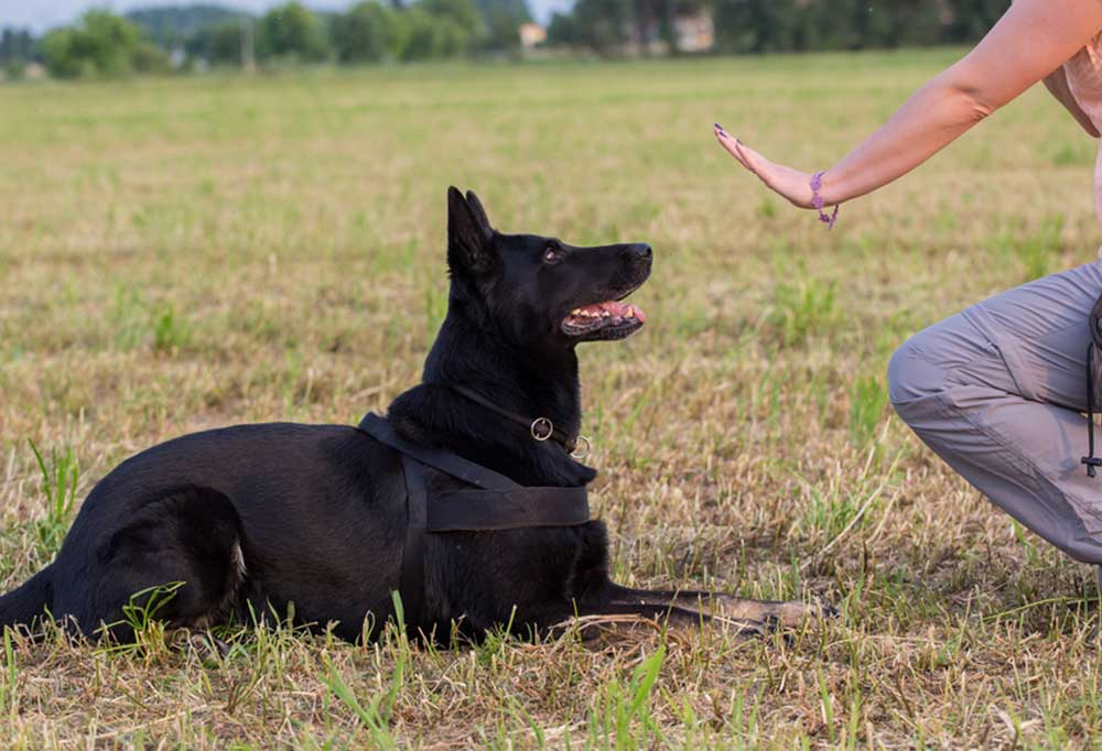 Dog laying in grass while a human hand signals it to stay