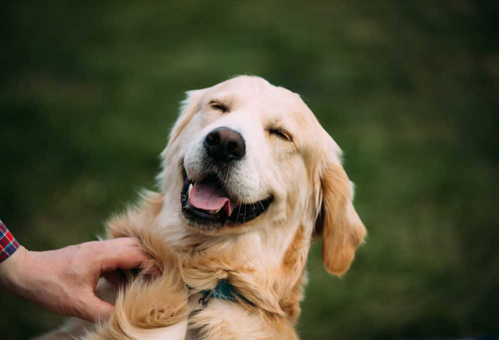 lose up of golden retriever outdoors, smiling.