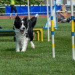 Border collie running agility course