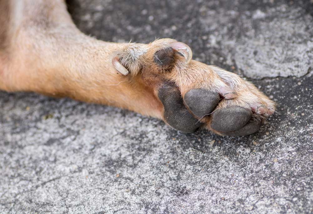 Tan dog paw with dew claw visible