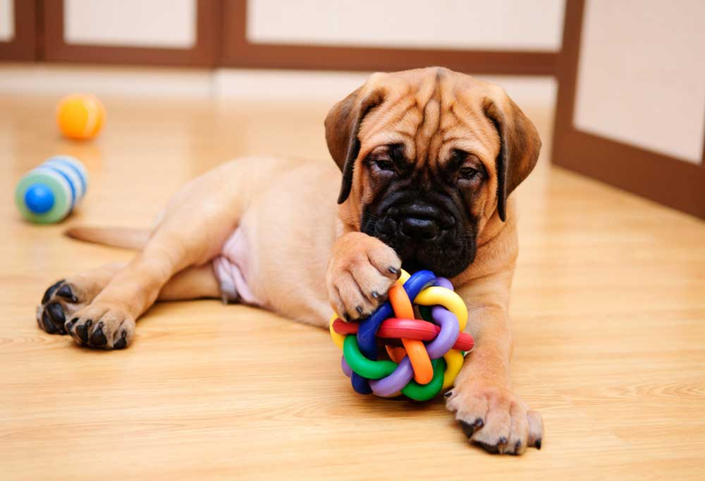 Mastiff puppy playing with toys
