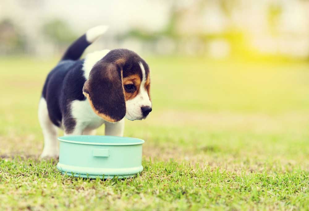 Beagle puppy with water bowl outside in grass