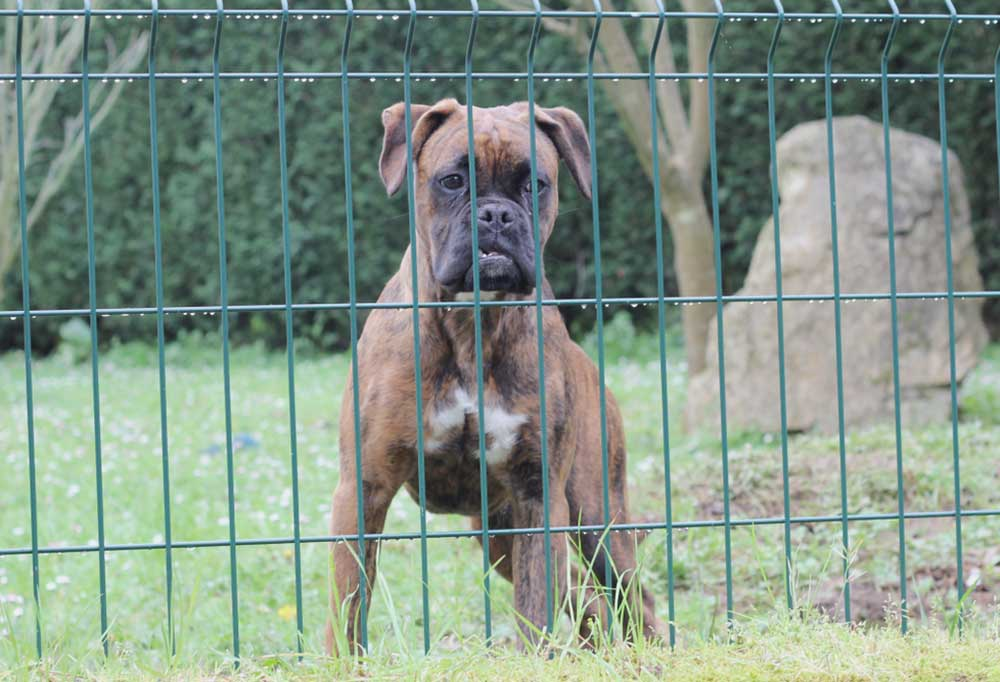 Boxer dog standing at fence looking frustrated