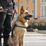 German Shepherd sitting next to standing police officer.