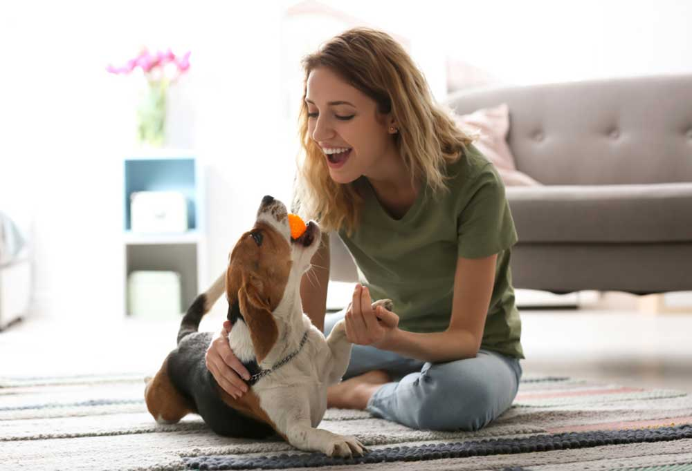Woman playing with beagle in living room floor