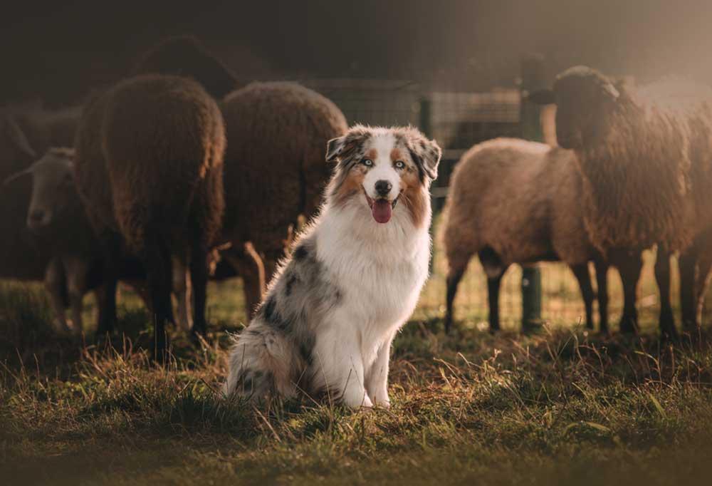 Australian Cattle Dog sitting next to flock of sheep