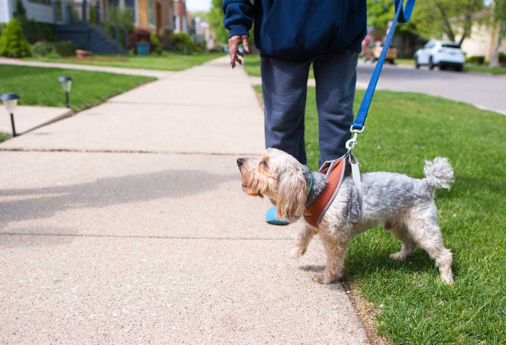 Dog on leash walking on sidewalk with owner, barking at people they pass,