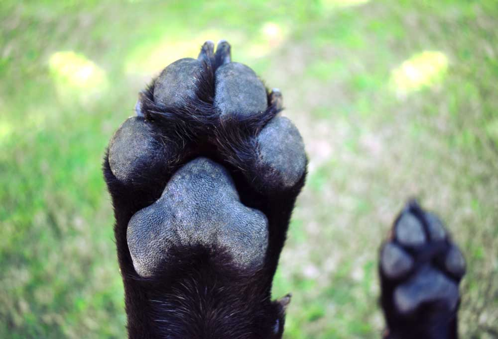 Close up pad side of black dog paw  with a grass background