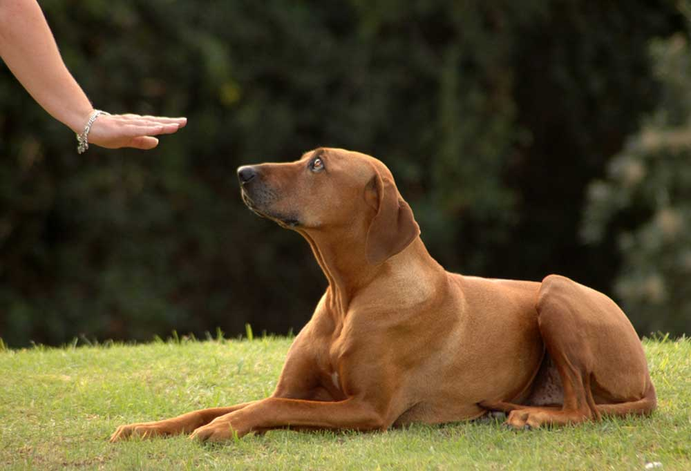 Dog laying down following person's hand signal