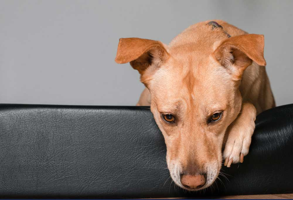 lonely Dog looking over back of couch