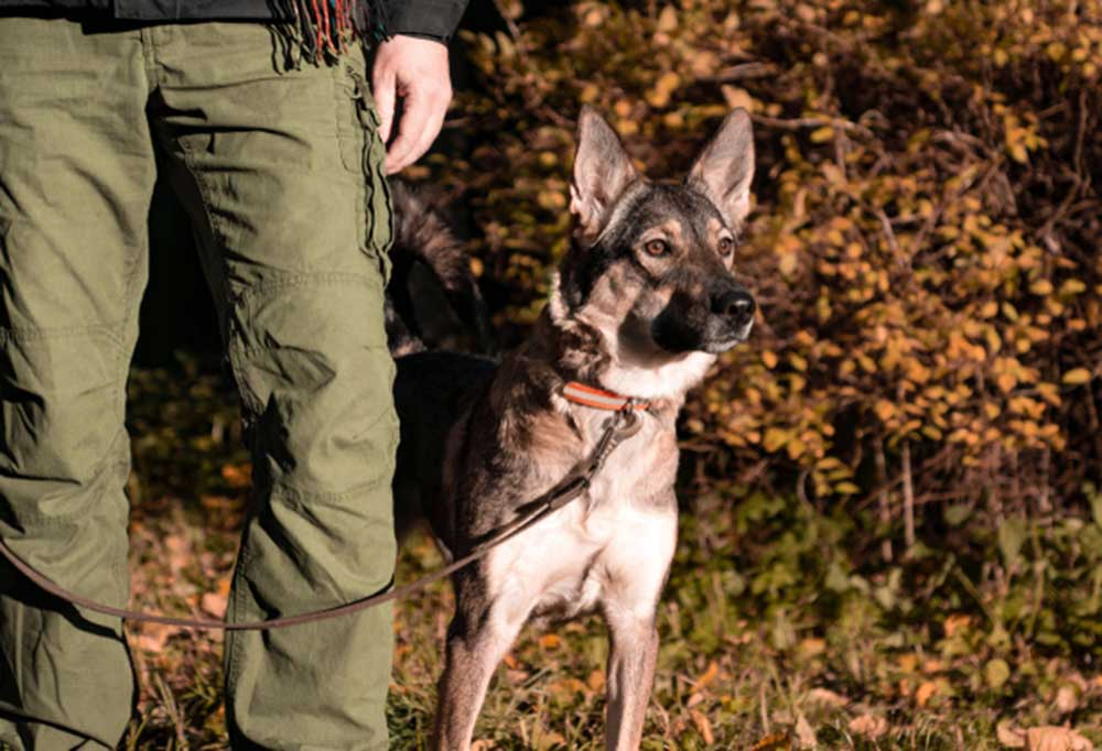 Dog healing at handlers side