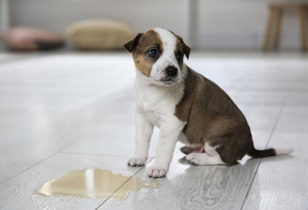 Brown and white puppy sitting on hard wood floors next to a puddle of pee.