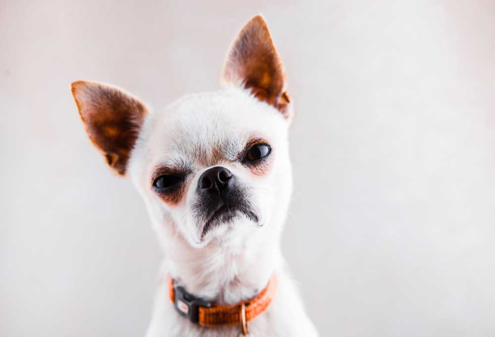 Grumpy looking white chihuahua on a grey background wearing an orange collar