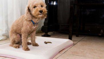 Poodle on a potty tray