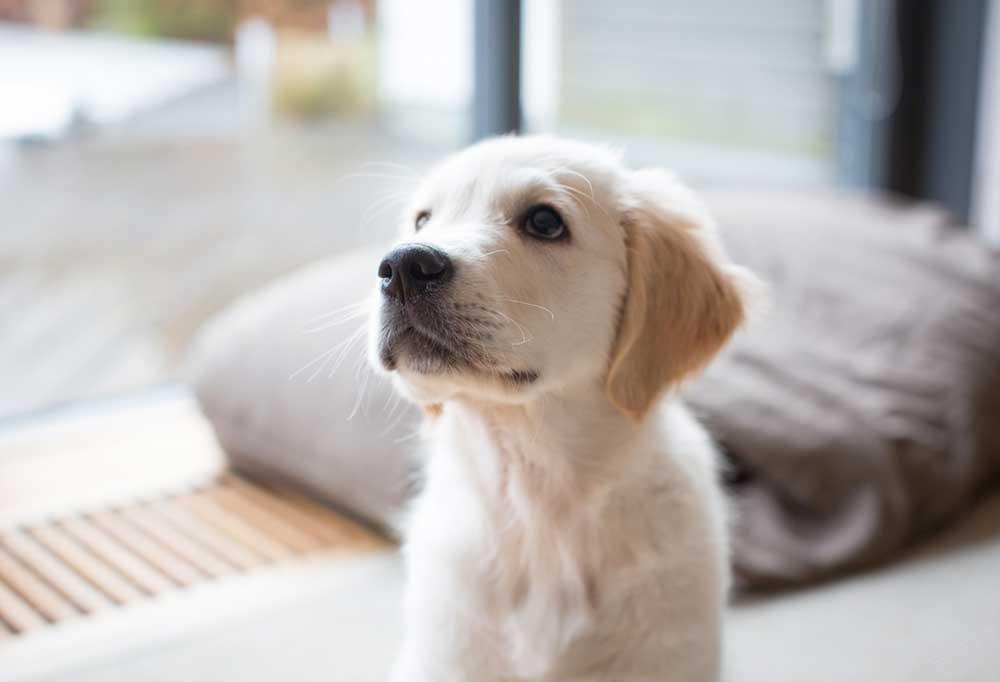 Yellow Labrador puppy sitting next to a sliding glass door
