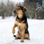 Black and tan dog with paw up sitting in snow