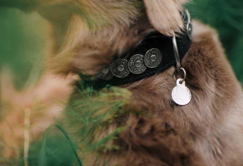 Closeup of dog ID tags and collar on a dog