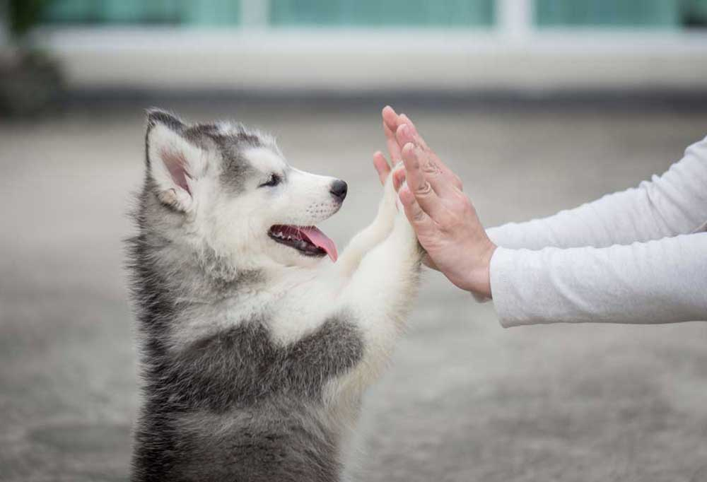 Husky puppy giving high 5s