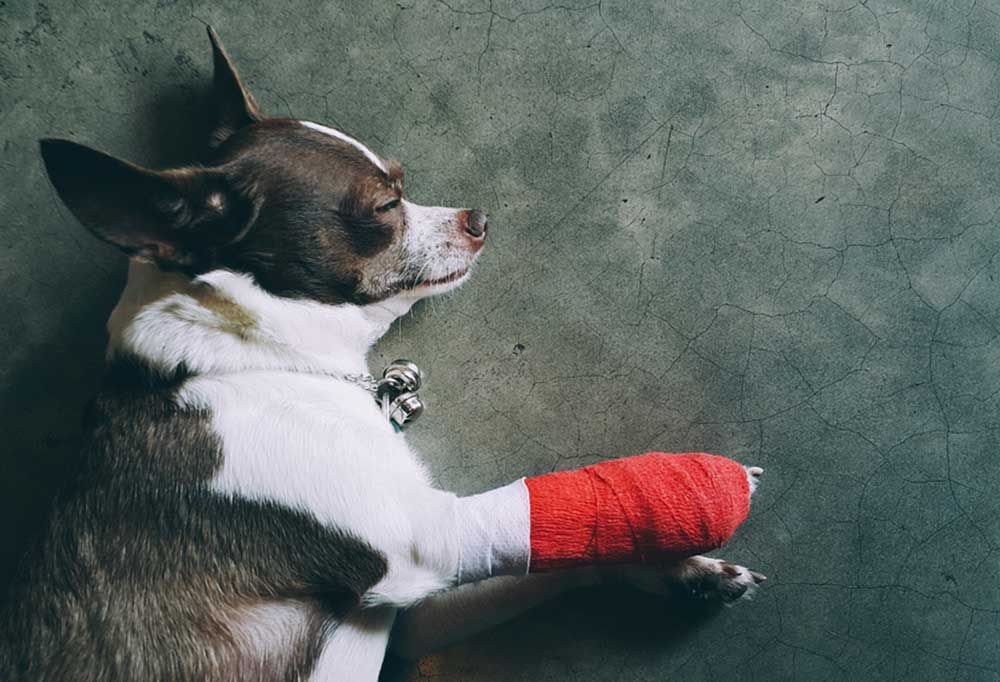 Chihuahua with red bandage on paw, laying down sleeping
