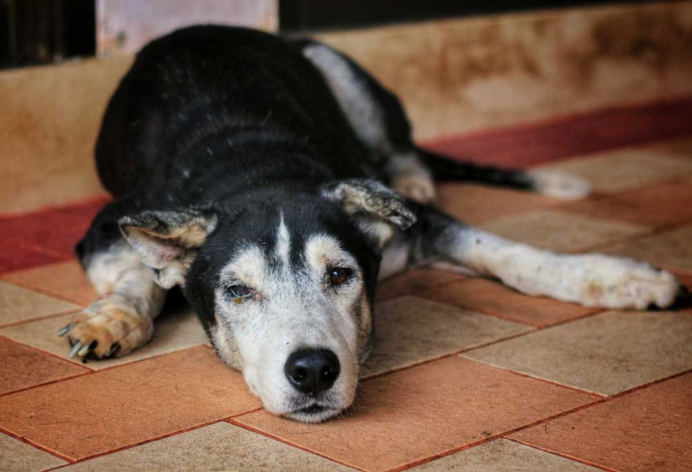 Black white and tan dog laying on a tile floor