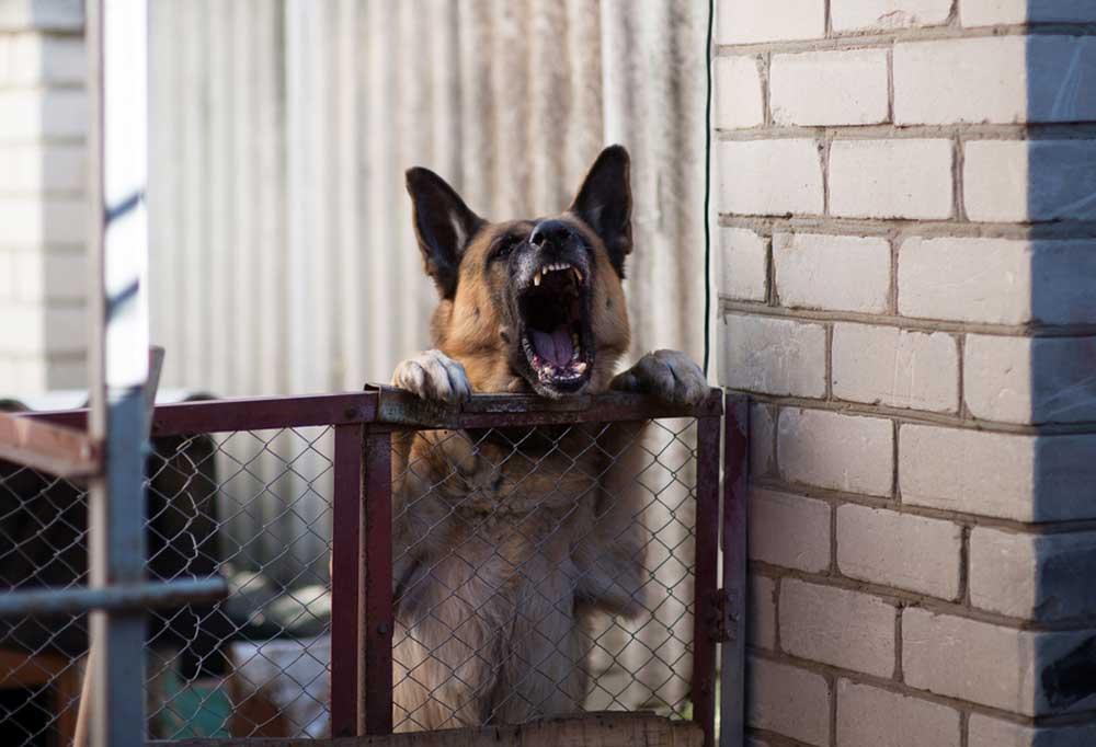 German Shepherd barking over a gate