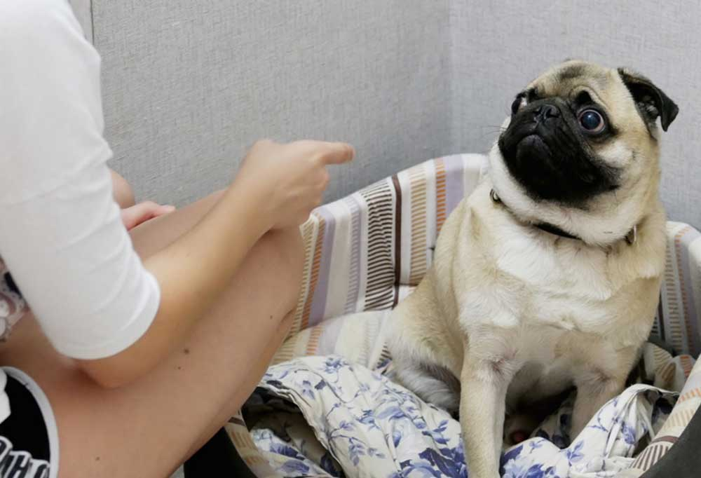Person fussing at pug sitting in dog bed
