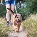 Shaggy older dog walking on leash on dirt path through tall grass