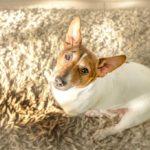 Senior Jack Russell terrier standing next to dark wet spot in white carpet