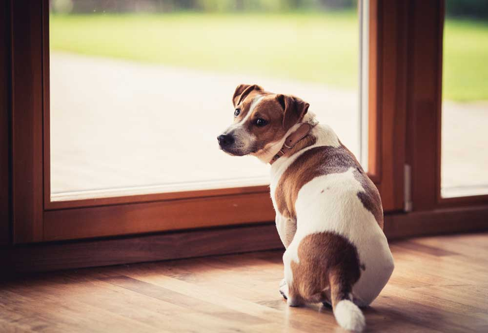 Jack Russell Terrier standing at door waiting to go outside