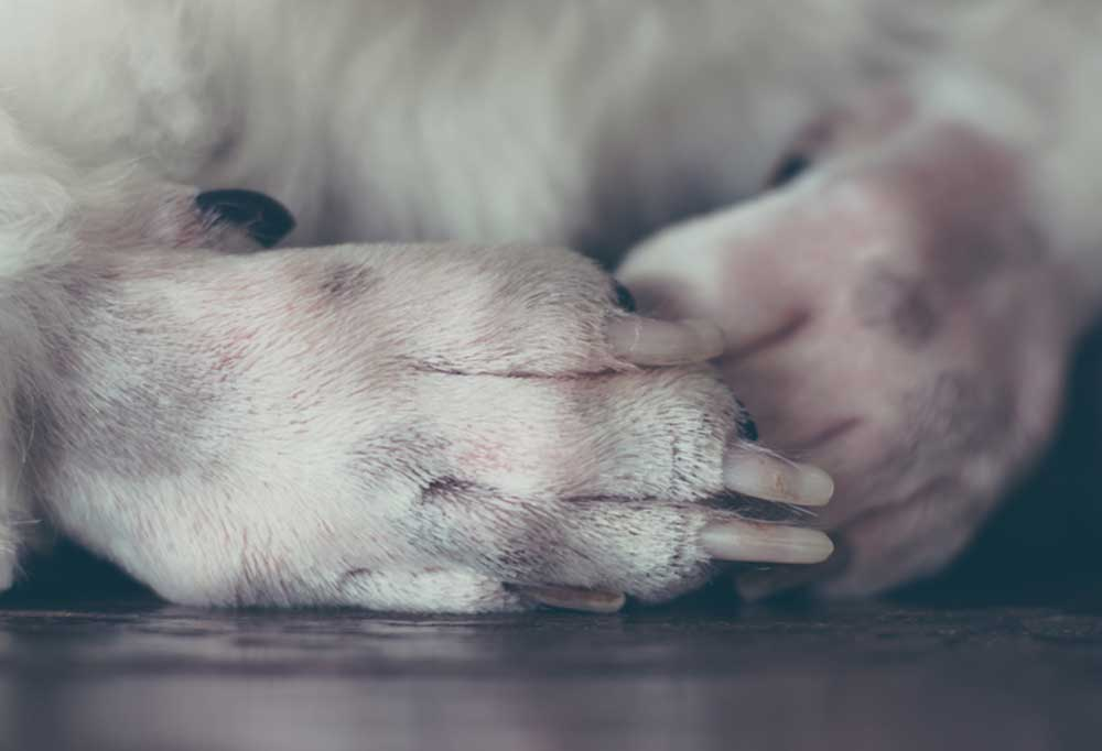 closeup of shaved white dog paws