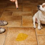 Jack Russell Terrier being fussed at for peeing on tile floor