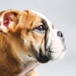 Bulldog looking to one side on a grey background