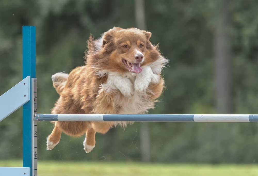 Brown and white dog jumping hurdles