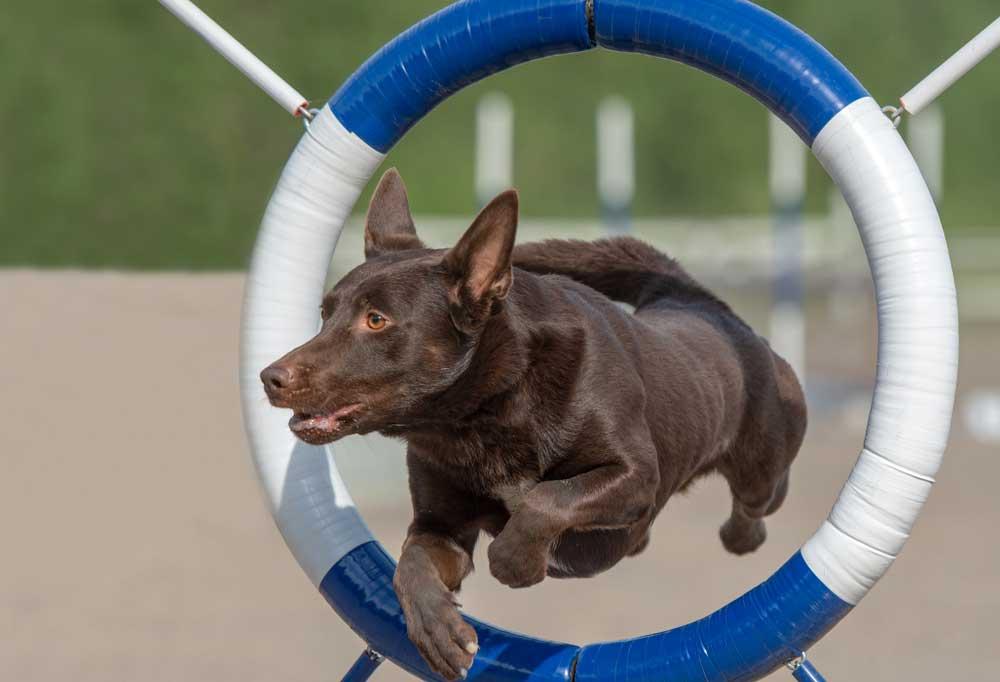 Chocolate lab jumping through hoop