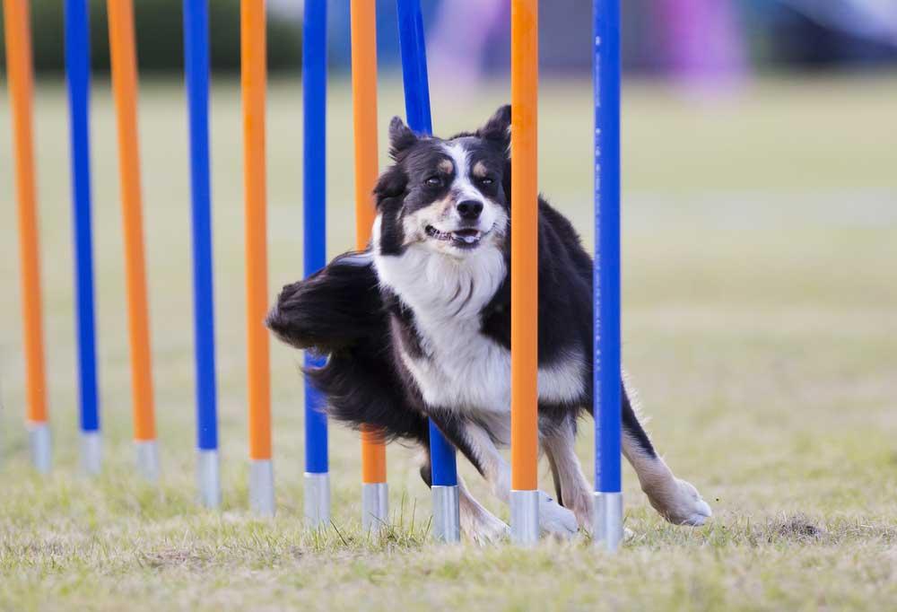 Border collie running through weave poles
