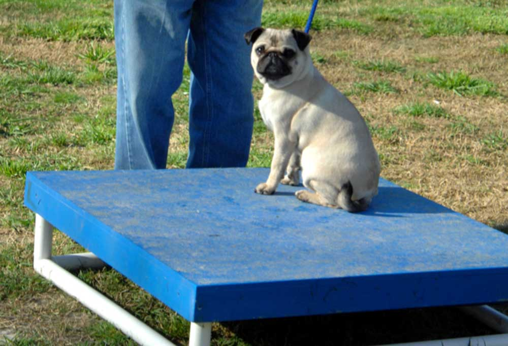 Pug resting on a pause box