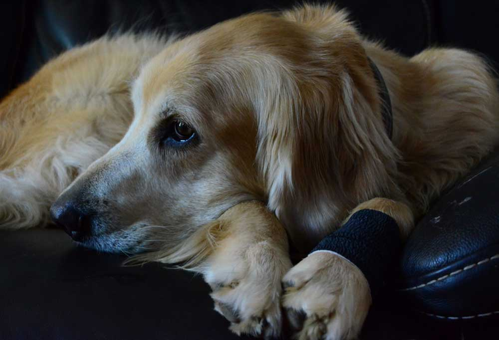 Golden retriever with paw bandaged laying on couch