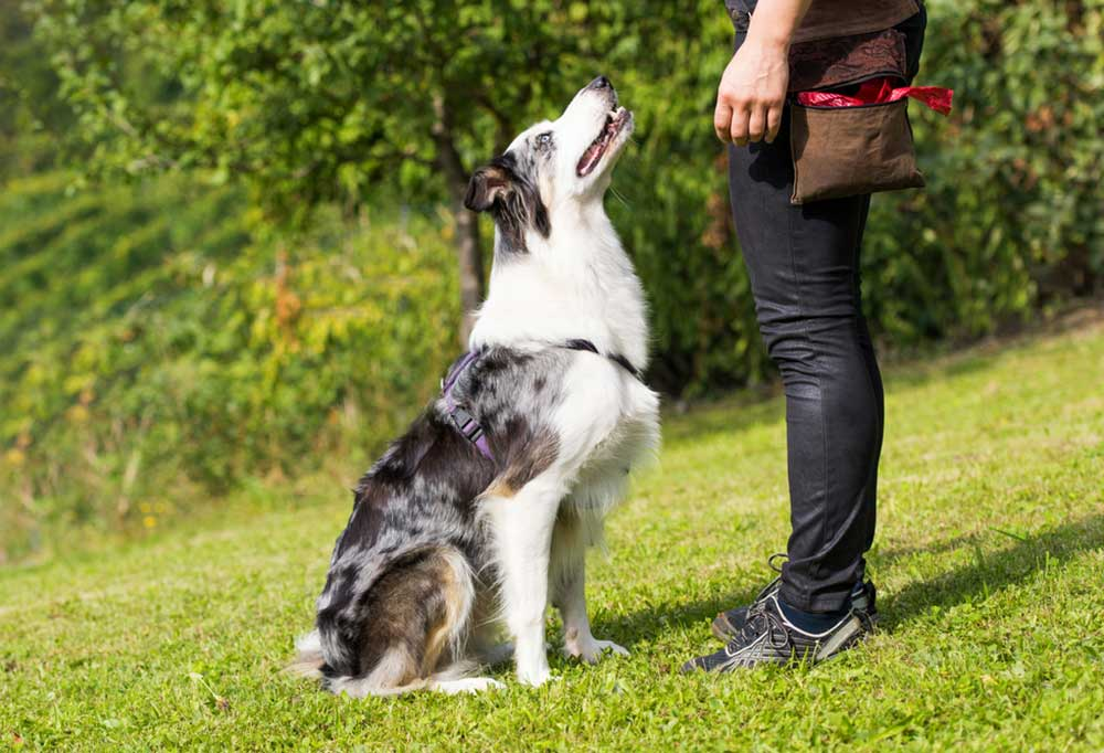 Dog looking up at trainer as it sits in a grassy field