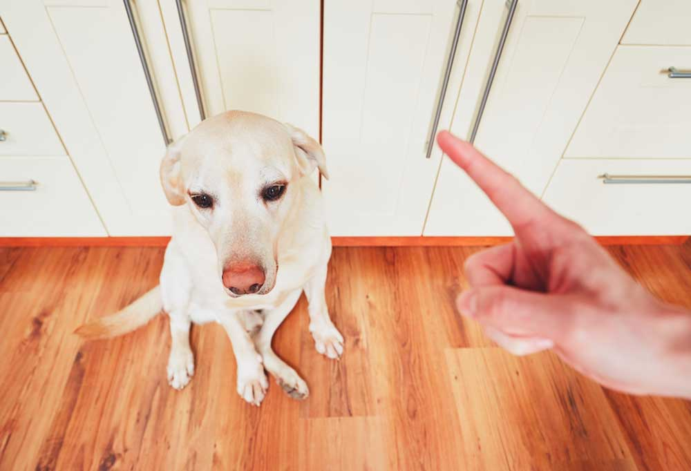 Yellow lab sitting on hard wood floor with hand in foreground wagging a finger.