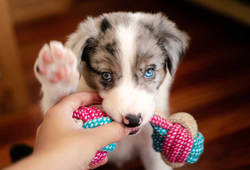 Australian shepherd puppy chewing a rope toy