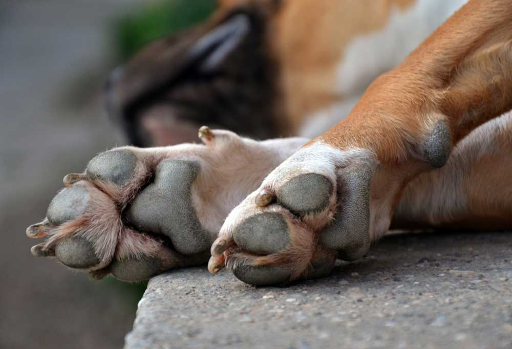 dog laying down with rough paws aimed at camera