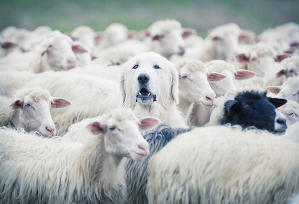 Sheep dog in the middle of a herd of sheep